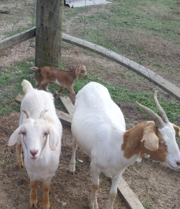 Goat with his brothers